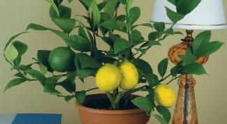 Как поливать лимон