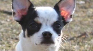 How to put ears Chihuahua