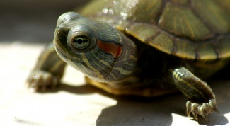 Как узнать, сколько лет сухопутной черепахе