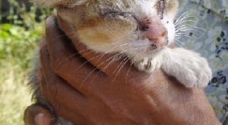 Как вылечить ушного клеща у кошки