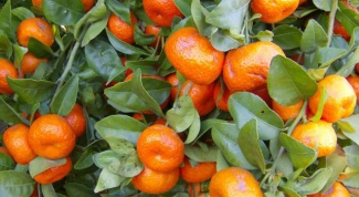 Как выращивать мандариновое дерево