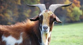 Как назвать козу