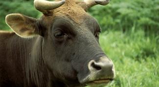 Как содержать корову