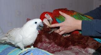 Как сделать попугая ручным