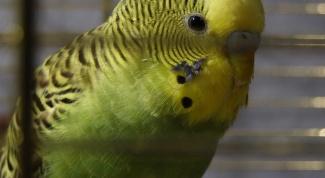 Как загнать попугая в клетку