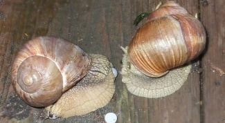 How to breed snails