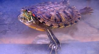 Как ухаживать и как кормить черепаху