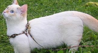 Как надеть поводок на кошку
