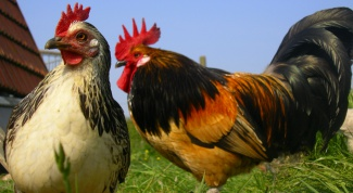 How to distinguish a hen from a rooster