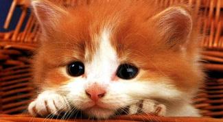 Как определить породу котенка