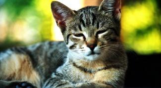 Как лечить кота при простуде