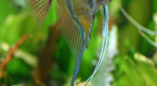How to determine the gender of angelfish