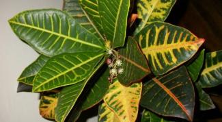 How to transplant Croton