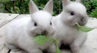 Как кормить карликового кролика