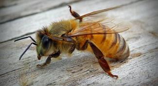 Как рисовать пчелу