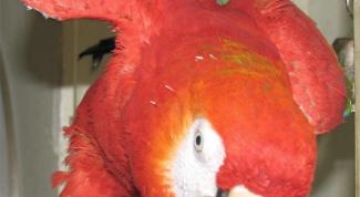 How to trim a parrot beak