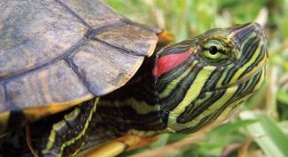 Как лечить глаза черепахе