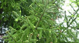 Как пересадить елки