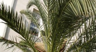 Как пересадить финиковую пальму