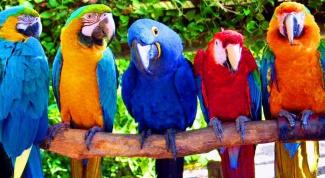 Как определить самца попугая