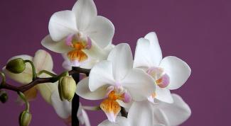 Как заставить цвести фаленопсис