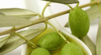 Как выращивать оливковое дерево