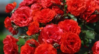 Как прививать розы к шиповнику