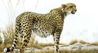 Как рисовать гепарда