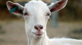 Как запустить козу