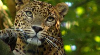 Как рисовать леопарда