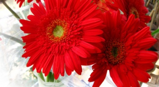 How to keep gerbera daisies in a vase