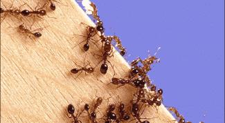 Как вывести муравьев в доме