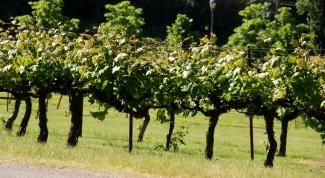 Как черенковать виноград