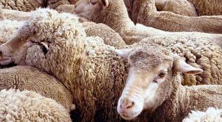 Как содержать овец