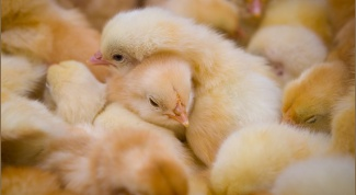 How to organize a chicken farm