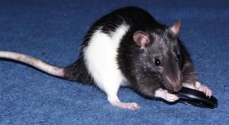 Как избавиться от запаха крыс