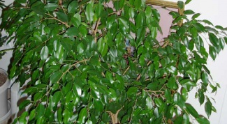 How to repot ficus benjamina