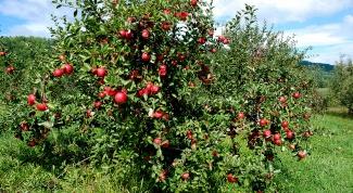 Как подстригать яблони