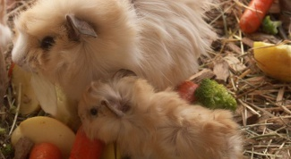 How to determine pregnancy in the Guinea pig