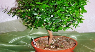 How to grow Myrtle