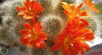 Как вырастить кактусы из семян