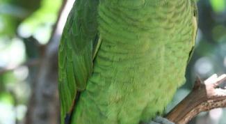 Как назвать волнистого попугайчика