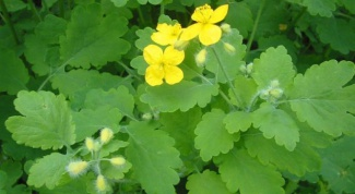 How to apply celandine
