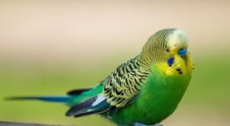 Как приучить попугая к плечу