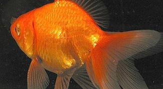 Как различить пол золотых рыбок