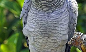 Как подобрать кличку для попугая