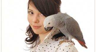 Как научить попугая-неразлучника говорить