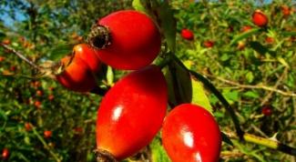 Как заваривать плоды шиповника