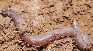 Как найти червя
