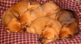 Как отучить щенка от кровати